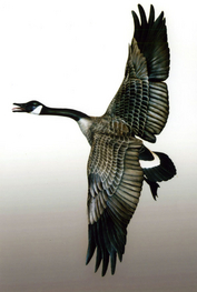 Gibian Flying Canada Goose Decoy II